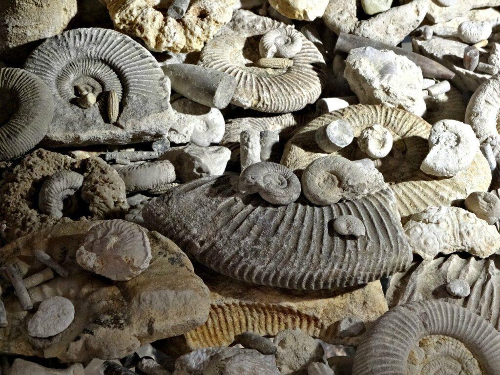 fossil d'ammonite